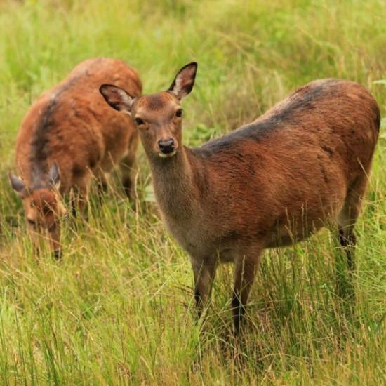 PLANTS AND WILDLIFE-deer-avonmore