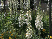 Avonmore Foxgloves